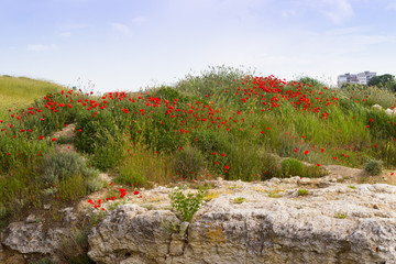Crimea, Russia. Flowering wild flowers and poppies, slopes, ancient stones and clouds, an ancient city in the territory of Sevastopol.