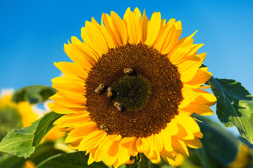 Sunflower with bees - 3807