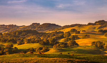 Fotobehang Lichtroze Pasture lands and California oak trees stand out on hills sides with golden light and shadows from a sunset. Horses graze in the foreground. A blue sky with wispy pinkish clouds are in the background.