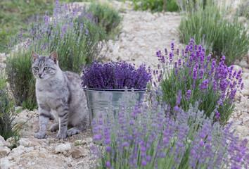Wild cat is sitting in lavender field. Harvesting of lavender. Glittering metal bucket with...