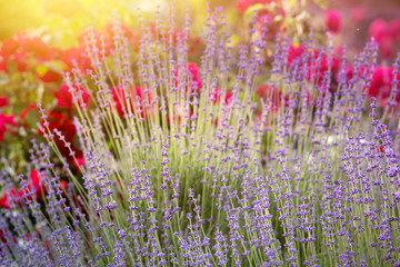 Lavender bushes closeup on sunset. Sunset gleam over purple flowers of lavender. Provence region of...