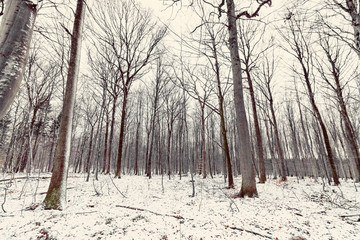 Winter in the forest with tall barenaked trees