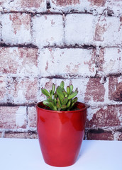 Red tipped succulent in a red vase against brick background. Vertical design.