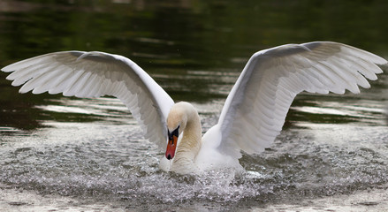 Mute swan, Cygnus olor, white swan, while spreading it's wings, landing on the river