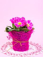 Flowering beautiful pink primrose on bright pastel background