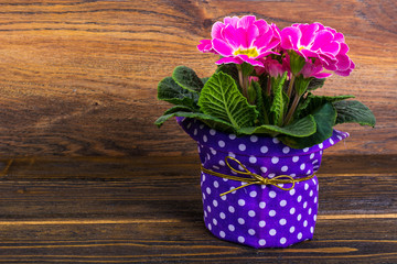 Bouquet of flowering spring pink primrose on wooden background