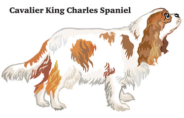 Colored decorative standing portrait of dog Cavalier King Charles Spaniel vector illustration