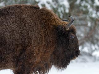 Fototapeta Motherly Bison Close Up. Adult Wild European Brown Bison ( Bison Bonasus ) In Winter Time. Adult Aurochs ( Wisent ), Symbol Of The Republic Of Belarus. Wild European Wood Bison,Bull (Male). Belarus