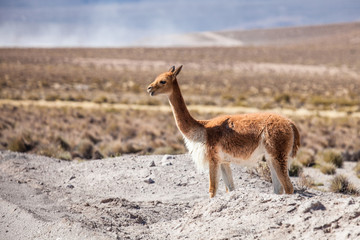Vicuña in the Andes