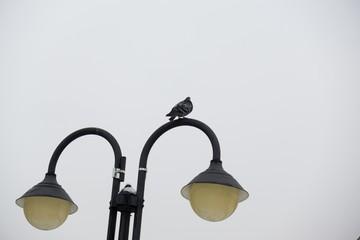 Pigeons on the lamp. Slovakia