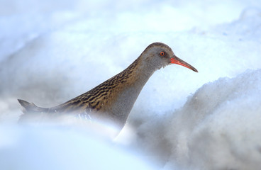 Water Rail in snow