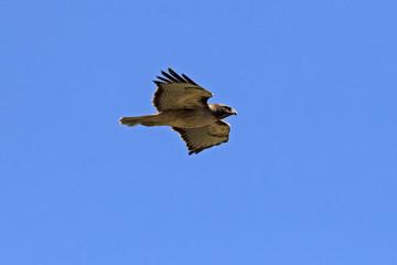 Hawk flight above Los Angeles