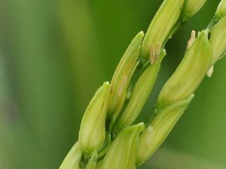 Closeup of green paddy rice.