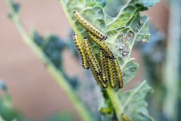 Cabbage White Butterfly Larvae