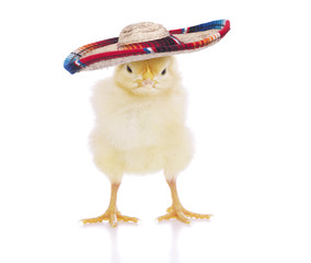 Easter Baby Chicken in Sombrero Hat