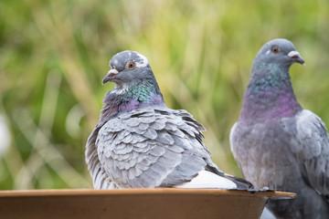 homing pigeon bird bathing in green park