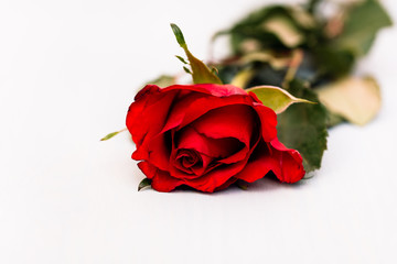 CLose up, selective focus shot of head of single red rose, a smybol for love and romance, lying on white wooden background as gift for Valentine's Day