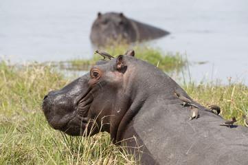 africa Botswana Okavango  delta , hippopotamus with oxpeckers