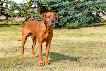 Rhodesian Ridgeback full face. Rhodesian Ridgeback stands on the grass in the park.