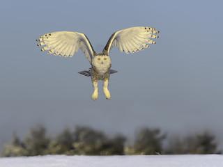 Snowy Owl in Flight Over Snow Field in Winter