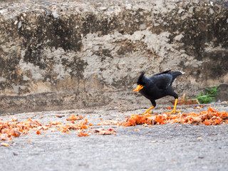 Black crow. Southern Thailand