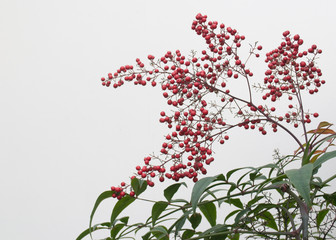 Red berries against a white wall