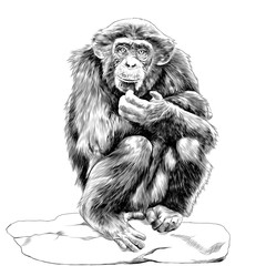 chimpanzee sitting on a rock and scratches his chin sketch vector graphics monochrome drawing