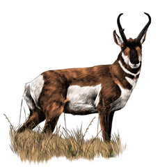 pronghorn stands in a dry grass sketch vector graphics color picture