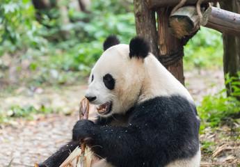 giant panda eating bamboo in chengdu wild zoo