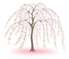 桜 枝垂桜 シダレザクラ 白背景