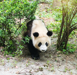 giant panda eating bamboo in chengdu wild zoo