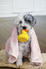 Cute Dog  with Pink Towel and Yellow Rubber  Duck ready for Bath