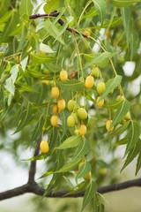 Neem seeds on the tree