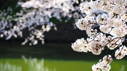 Sakura, japanese cherry blossom during the spring season