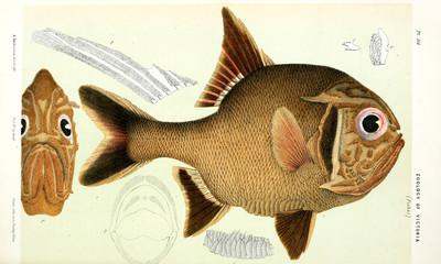 Illustration of the animal.