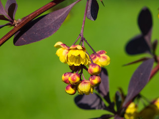 Berberis thunbergii, Japanese Barberry, flower clusters, buds and red leaves macro, selective focus, shallow DOF