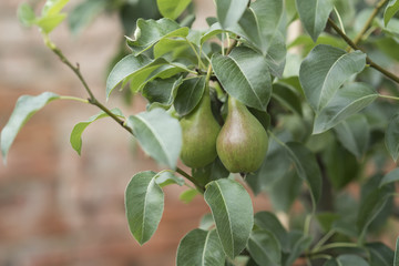 Pear branch with green fruits, leaves on tree