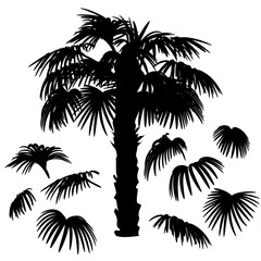 Set of palm leaves silhouettes and Washingtonia palm tree isolated on white background. Vector EPS10. For constructing different palm trees and tropical design.