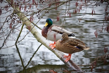 Ducks at the pond