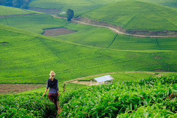 Woman/tourist walking through tea plantation field in Rwanda, Africa