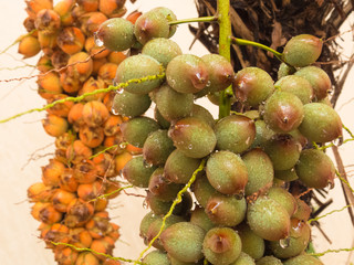 Bunch of wet green palm fruit in close up view, with drops of water, after summer rain and ripe fruit in the background of the scene