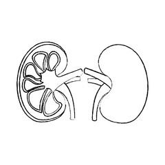 human organs kidney anatomy medical icon vector illustration sketch design