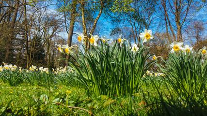 spring narcissus flowers. flowers in spring season