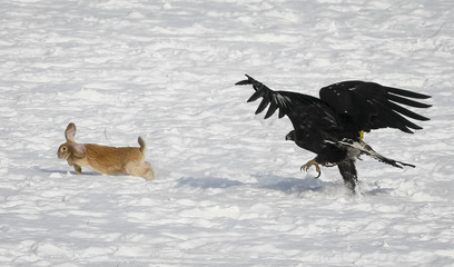 A tamed golden eagle chases a rabbit during an annual hunters competition at Almaty hippodrome