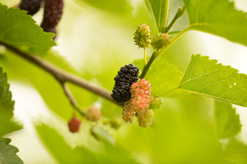 Mulberry berries on a tree in the nature