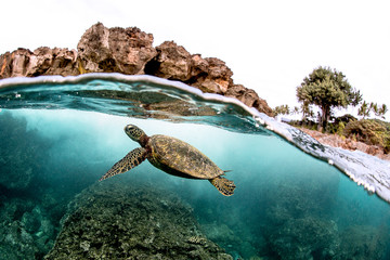 Keuken foto achterwand Schildpad Beautiful Green sea turtle swimming in tropical island reef in hawaii, split over/underwater picture