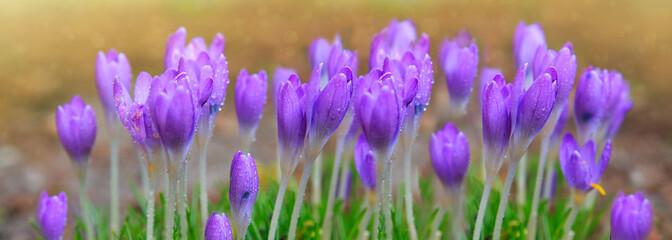 Purple crocuses in spring garden. Spring background.