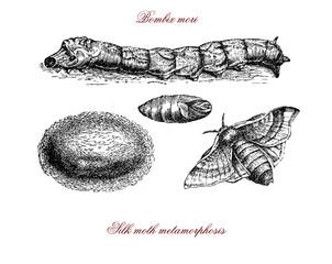 Bombix mori, silkworm, cocoon, silk moth metamorphosis vintage engraving