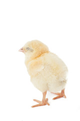 small fluffy yellow Easter chicken on a white background