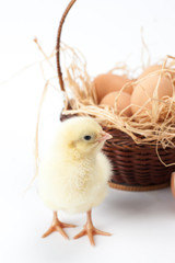 yellow, tiny fluffy chickens in the Easter basket on a white background
